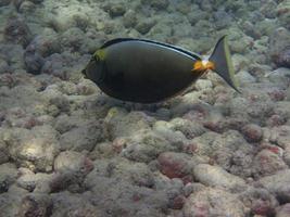 Orangespine Chirurg Fisch foto