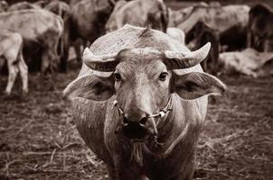 asiatischer Büffel