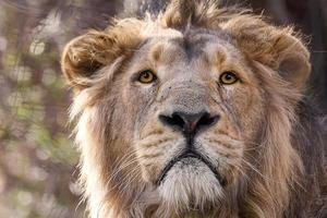 asiatischer Löwe foto