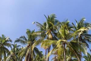 Palmen mit Kokosnuss unter blauem Himmel