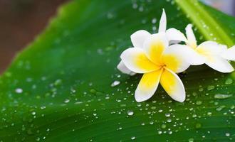weiße und gelbe Frangipani-Blüten mit Blättern im Hintergrund foto