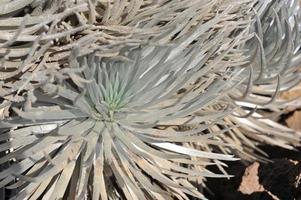 hawaiianisches silberschwert. foto