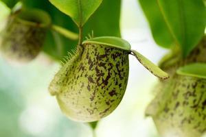 nepenthes ampullaria., nepenthaceae, neuguinea