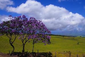 Jacaranda-Bäume auf Maui foto