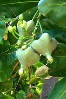 Fischgiftbaum foto