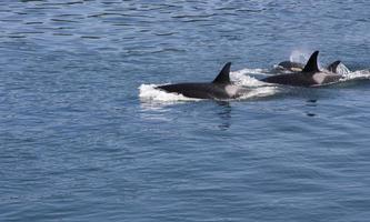 drei Orcas foto