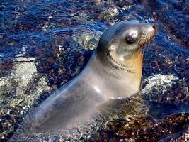 Galapagos Seelöwe entspannen im Gezeitenpool foto