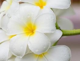 weiße und gelbe Plumeria-Blüten foto