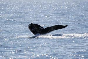Schwanz des Buckelwals foto