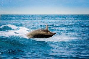 schöner verspielter Delphin, der in den Ozean springt foto