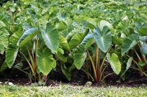 Taro-Pflanzen