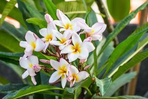 Plumeria-Blüte foto