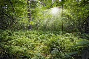 grüner dichter Wald mit Sonnenstrahlen, die durch die Zweige brechen foto