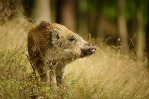 Baby-Wildschwein in der langen gelben Grasschnüffelseite