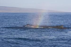 vorbeifahrender Buckelwal