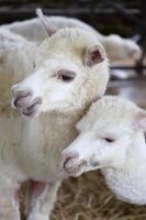 Alpaka Familie foto