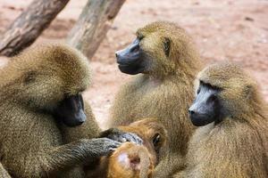 Guinea Pavian Familie foto