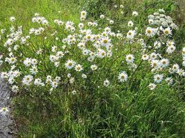 grünes Gras und Gänseblümchen