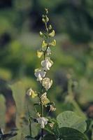 Blüten von Lablab Purpureus