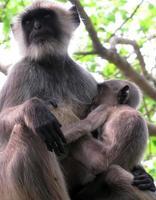 schwarzer Affe, der Baby stillt foto