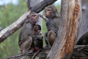 Affenfamilie - Archivbild foto