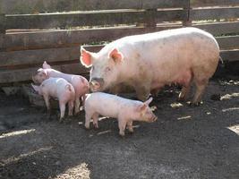 Schweinefamilienessen