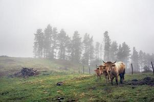 Familie der braunen Kühe auf dem Feld foto