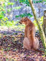 Puma Porträt foto