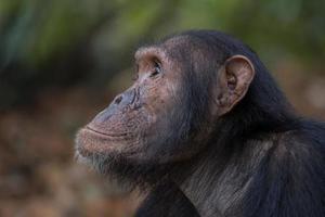 Schimpansenporträt foto