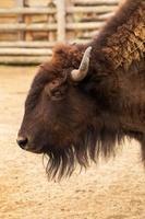 Büffelporträt