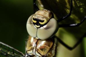Libellenporträt foto