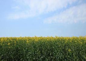 Vergewaltigungsfeld im Frühling mit blauem Himmel