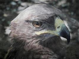 Adlerporträt foto