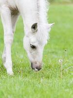 weißes Finnpferd Hengstfohlen foto