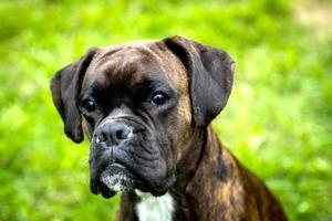 Boxer Porträt foto