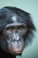 Bonobo-Porträt foto