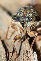 Zikadenporträt