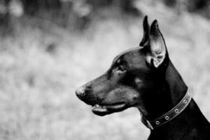 Porträt von Dobermann foto