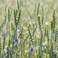 Kornblumen und Weichweizen
