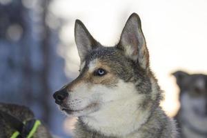 blauäugiger Husky-Hund bereit, einen Schlitten zu ziehen, Lappland