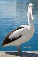 Pelikan Porträt foto