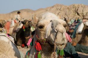 Kamelporträt foto