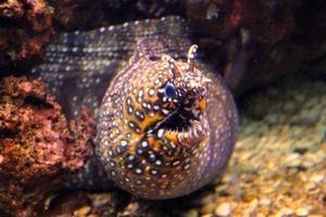 Nahaufnahme des bunten Drachenmuränenaals auf einem Korallenriff foto