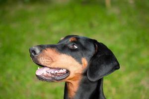 Dobermann-Porträt foto