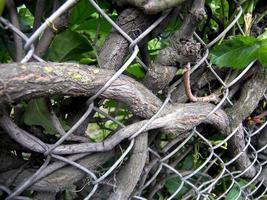Bindekraut, das einen Zaun verwickelt foto