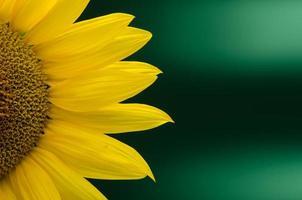 Sonnenblumen-Nahaufnahme