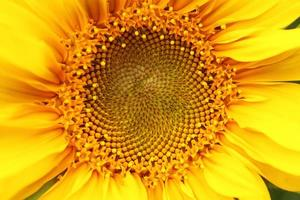 Sonnenblumen-Nahaufnahme foto