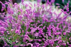 Lavendel Nahaufnahme foto