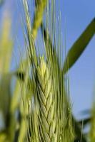 Getreide (Nahaufnahme) foto