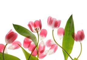 Tulpe hautnah